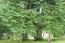 Tyto dvě lípy ze Starého Sedliště se dostaly do finále ankety Strom roku 2007. Radní je v kampani chtějí dostat co nejvýš