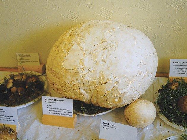 Mezi vystavovanými houbami se objevil také Vatovec Obrovský. Ukázka, která byla viděna v gymnáziu opravdu dostála svému jménu.