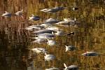 Březový rybník u Tisové na Tachovsku je plný mrtvých ryb. Odhadem jich je na hladině skoro vypuštěného rybníka kolem pěti set. Rybník leží poblíž Přírodní rezervace Tisovské rybníky a patří Klatovskému rybářství.