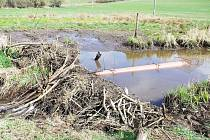 NA ÚZEMÍ ČESKÉHO LESA NEDALEKO OBCE ŽELEZNÁ se zkouší tzv. drénování bobří hráze. Jde o rouru zabudovanou do hráze, která zabezpečí, že voda se nerozlévá po okolí.