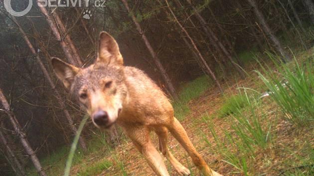 Vlk v české krajině.