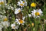 Z pozorování motýlů a dalších živožichů na loukách u Svaté Kateřiny.