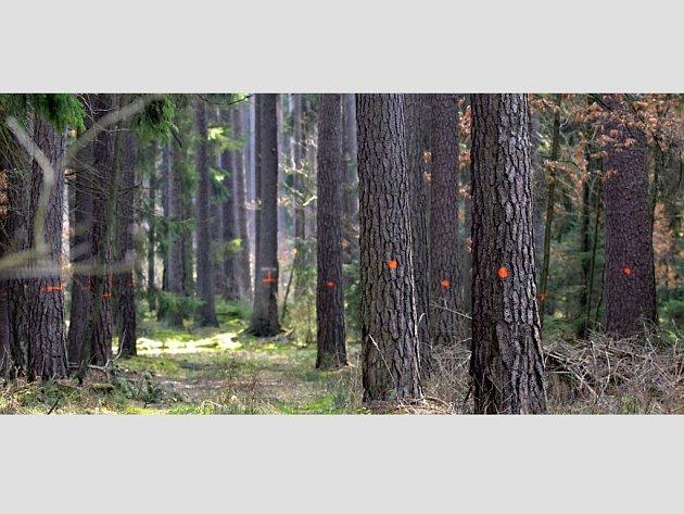STROMY URČENÉ KE KÁCENÍ v lese  u obce Mlýnec poblíž hnízdiště vzácného čápa černého. V tomto místě se ale zatím těžit nebude.