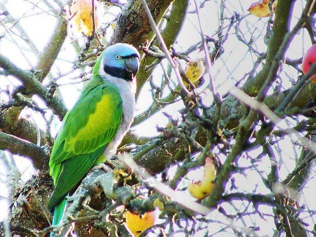 Papoušek na jabloni ve Lhotce u Tisové.