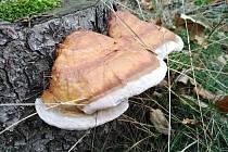 Zimní houbová podívaná.