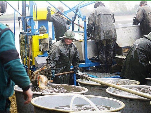 PRVNÍ NÁKLAĎÁKY plné ryb odjely ve čtvrtek brzy ráno z rybníku Regent do sádek v Plané. Výlov největšího rybníku regionu pokračuje v pátek.