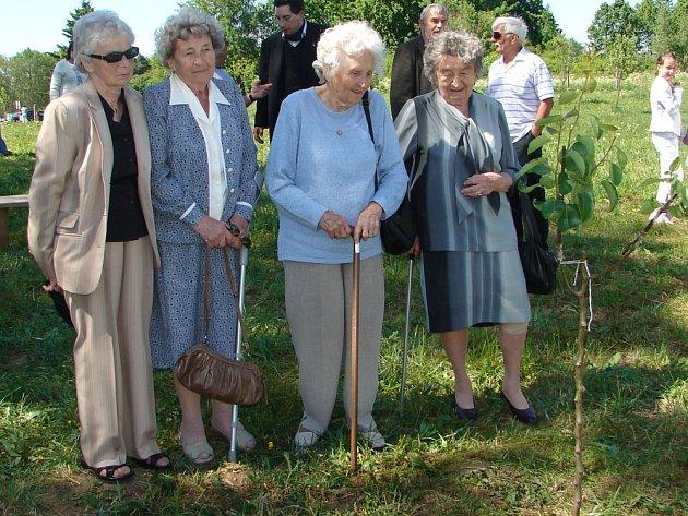 Roubovanec památného stromu České republiky začal letos kvést poprvé po třech letech od svého vysazení v Tachově.