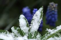 Pěstitelům a zahrádkářům nadělila příroda mrazivé jaro. Snímek je z nedělní sněhové nadílky v Chodové Plané.