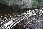 Působení bobra evropského na Tachovsku