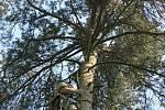 Luňáci hnízdí v horních patrech stromoví. Dostat se tedy do jejich hnízda vyžaduje doslova horolezecké výkony.