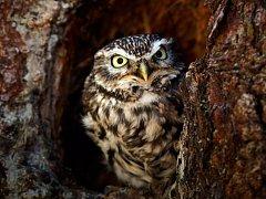 Sýčci původně hnízdili v dutinách stromů, v současnosti jsou ale v Česku vázaní výhradně na lidská sídla.