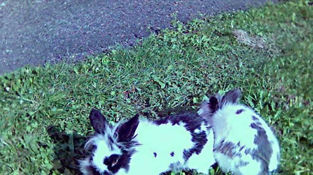 Neznámý ničema se v lese zbavil těchto dvou zakrslých králíčků. Ta teď našla útočiště v Přimdě.