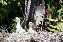 VZÁCNÝ POHLED. Čápa černého ornitologové na Tachovsku nenašli. Na snímku je hnízdo čápů černých u Města Touškova na umělé hnízdní podložce.