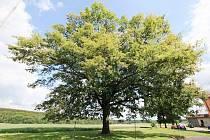 Dub v Záchlumí, který se účastní soutěže Strom roku 2011