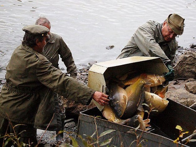 Kapři od Hlinného obohatí předvánoční trh s rybami