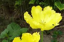 K jarním zahrádkám patří i kvetoucí tulipány