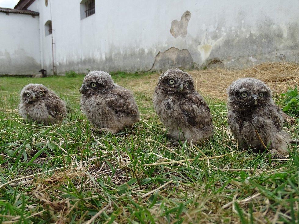 Nová generace sýčků. Mláďata ornitologové kroužkují, aby bylo možné sledovat jejich pohyb po opuštění hnízda.