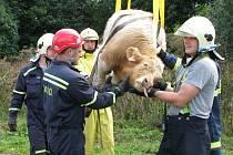 Hasiči vyprostili mládě býka.