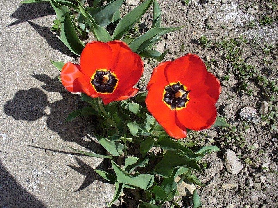 Tulipány na zahrádce.