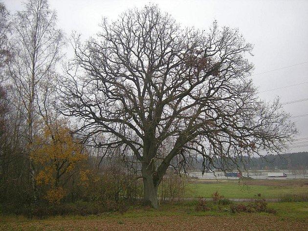Košatý dub letní pod Střebelským vrchem.