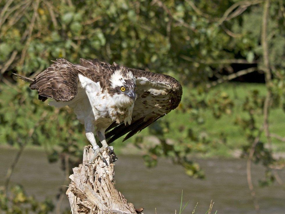 Z FINSKA NA TACHOVSKO. Orlovec s finským ornitologickým kroužkem dorazil při svém tahu i do našeho regionu. Byl však ošklivě popálen elektrickým proudem a tak jeho cesta skončila v Záchranné stanici živočichů v Plzni.