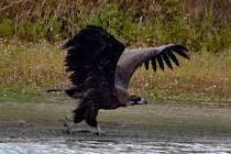 Tohoto supa hnědého pozoroval a na Tachovsku vyfotil ornitolog Karel Machač.