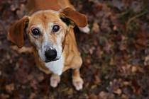 Pes Dobík je vážně nemocný, rodinu ale našel.