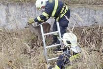 Mladého srnce zachraňovali ve středu odpoledne hasiči v areálu bývalých kasáren ve Stříbře.
