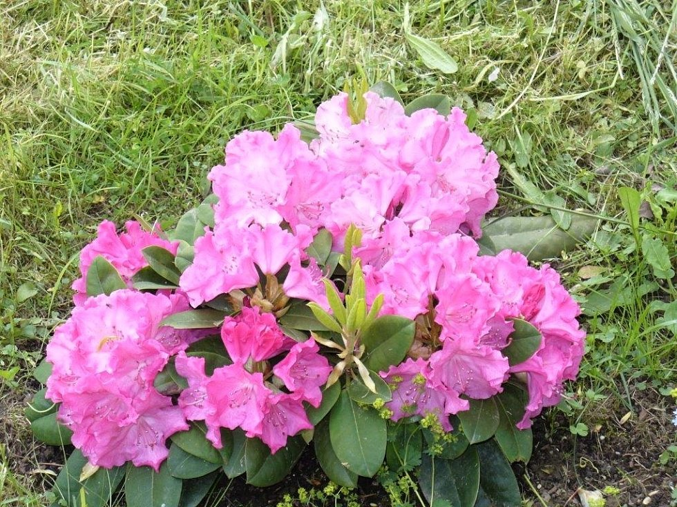 Kvetoucí rododendron ve Víchově.