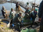 Sportovní rybáři z Tachova vylovili v Halži svůj chovný rybník a ryby rozvezli do sportovních rybníků v celém kraji.