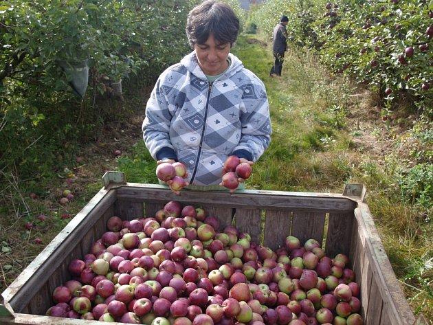 JAROSLAVA VOKROJOVÁ nasbírá takovýchto beden denně přibližně sedm. Momentálně má za úkol očesat odrůdu jablek spartan, která se vyznačuje svou navinule sladkou chutí.