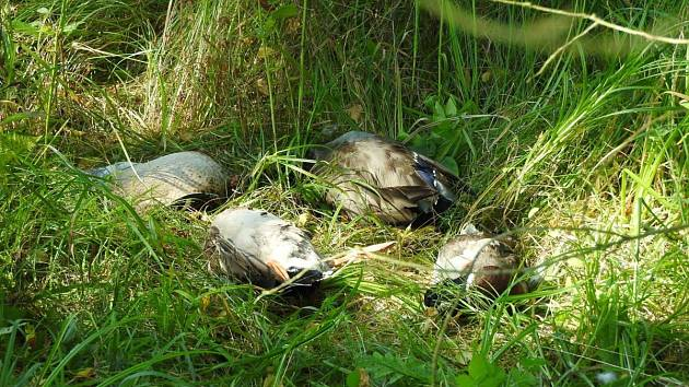 NĚKOLIK MRTVÝCH KACHEN našla fotografka při procházce kolem jednoho z rybníků u Lhoty na Tachovsku. Podle zjištění Deníku byl  den před nálezem na rybníku hon na kachny a zvířata buď ještě nebyla dohledána nebo je  tam myslivci zapomněli.