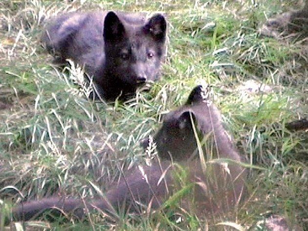 Lišky utekly z klecí na dvůr.