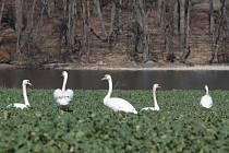 Hejna labutí se houfují na zelených polích, také u rybníka za Chodovou Planou směrem na Kyjov.