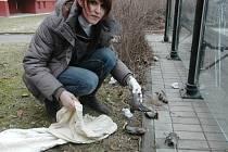 LETÍ, NARAZÍ DO PROSKLENÉ PLOCHY A UHYNOU. I takovým způsobem končí život některých opeřenců. V poslední době takto zemře více ptáků, než například v důsledku střetu s dráty vysokého napětí nebo kolik jich uloví domácí kočky.