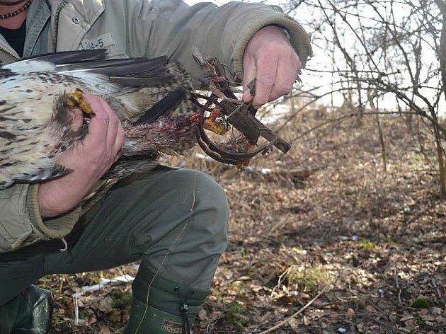 Železným klepetům se pták ubránit nemohl. Takovýto nehumánní lov zvířat je zákonem zakázán.