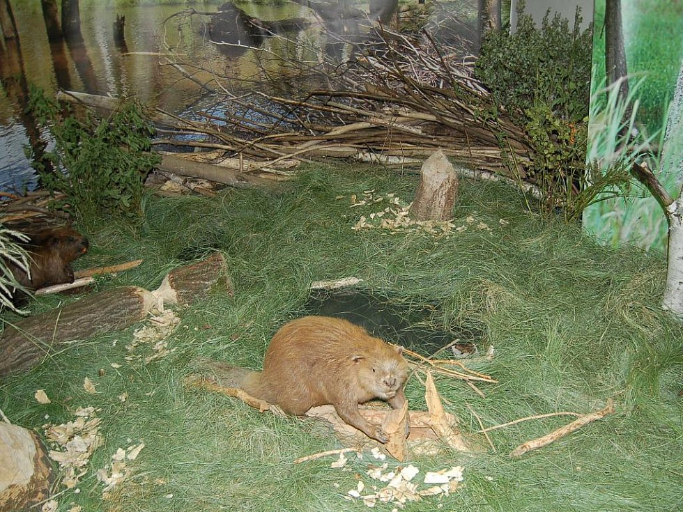 Se životem bobrů se mohou podrobně seznámit návštěvníci Muzea Českého lesa.