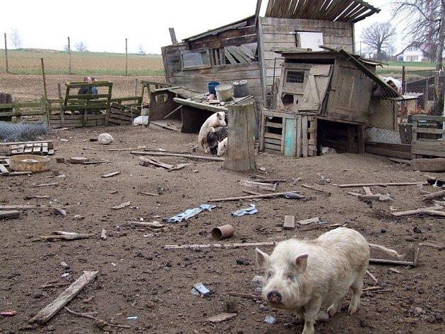 PRASATA se pohybují volně po velikém výběhu, některá prasata utíkají mimo pozemek. Všude jsou prkna, ze kterých koukají hřebíky.