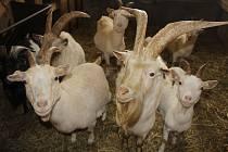 Kůzlátka, kozy, kozlíci a kamerunské ovečky ve Dvoře Krasíkov.