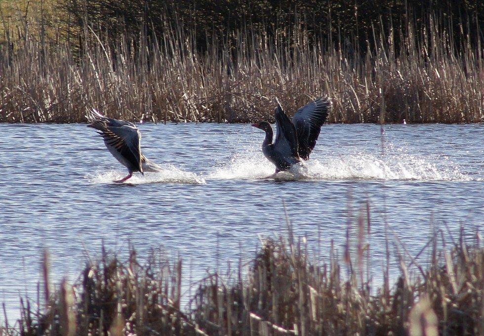 Jeřábi popelaví a husy veliké už jsou na Tachovsku.