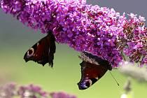 Půvabný keř je doslova obletován motýly.