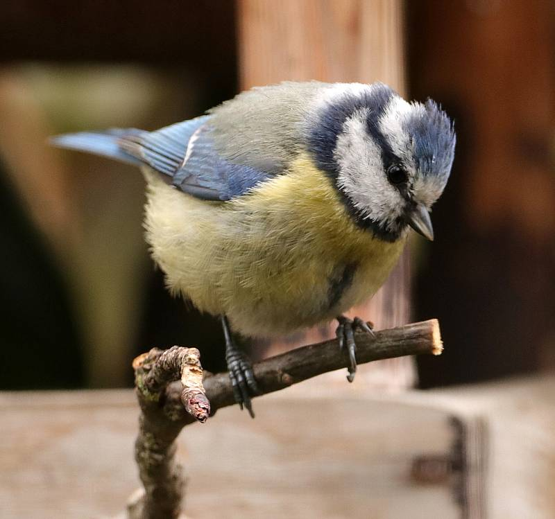 Sýkora modřinka