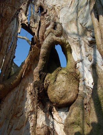 Zvycházky kolem zajímavých stromů Plané a Chodové Plané