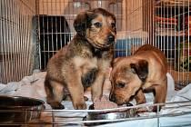 NALEZENCI Z BORU. Přibližně sedmitýdenní psí kluci se mají k světu. Po veterinární péči půjdou do nového domova.
