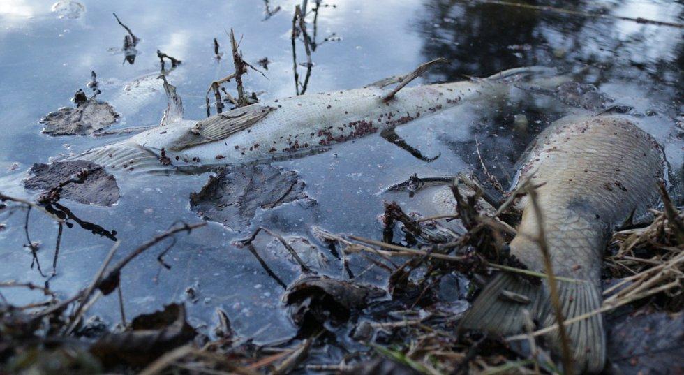 Uhynulé ryby v Návesném rybníce