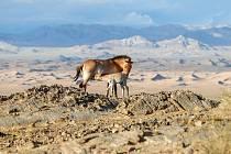 Kůň Převalského v mongolské stepi.