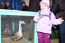 Daniela Čepičková obdivovala zvířátka vystavovaná na chovatelské burze (na snímku). Čtyřletá dívka ze Stříbra dorazila se svojí babičkou a středem jejího zájmu byl také kříženec husy