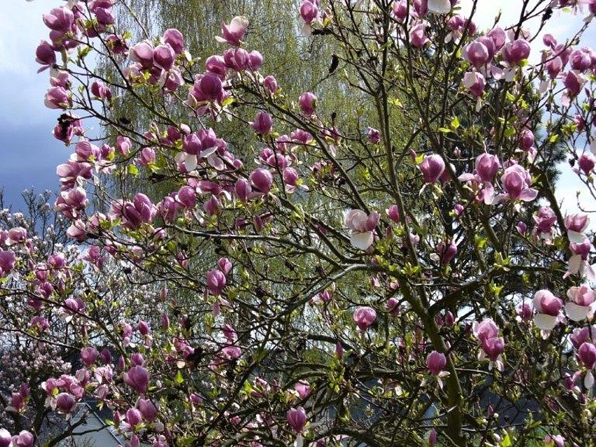 Kvetoucí magnólie ve Svojšíně.
