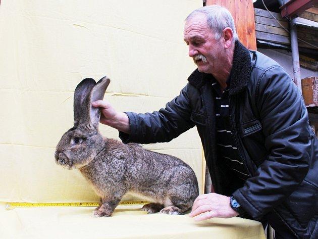 CHOVATEL BELGICKÝCH OBRŮ Jaromír Šilhánek získal řadu ocenění. Největším králíkům se věnuje už téměř třicet let. Profesí byl horník a zedník a  tuto středu oslaví své šedesáté čtvrté narozeniny.