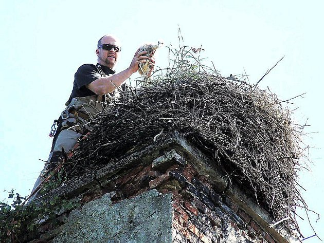 DVĚ KROUŽKOVANÁ MLÁĎATA A JEDNO NEVYLÍHLÉ VEJCE. Takový byl letos stav v hnízdě v areálu bývalých kasáren v Zadním Chodově. Karel Makoň (na snímku) drží jedno z mláďat.